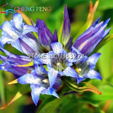 hot100pcs/Bag Ornament enzian Samen Vier Jahreszeiten einfach Grow Hof oder Blumensamen Topfpflanzen für Home Garden Shown In Desc grün