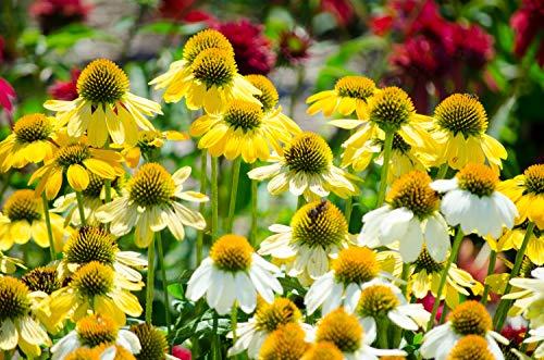 Echinacea 'Mellow Yellows' 10 Samen, Rote Sonnenhut Gelb