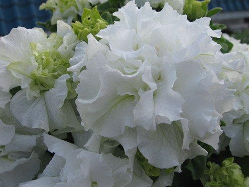 200pcs/sac Hanging Multicolor Petunia Graines Balcon Trailing Pétunia fleur en pot Bonsai plantes pour jardin Décor facile à cultiver 5