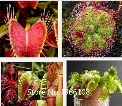 Home & Garden 100 Mix carnivore carnivore Lot espèces Graines – Venus Flytrap et Sundews Bulk Lot de graines de bonsaï Verieties Flowe