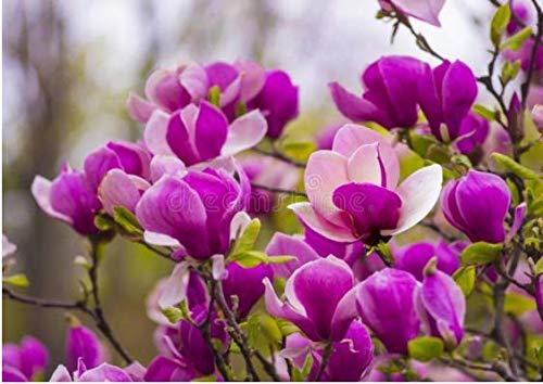 Acecoree Samen Haus- Magnolie Blumen Samen Garten Raritäten Blumenzwiebeln Samen Zierblumen für Barkon, Hausgarten