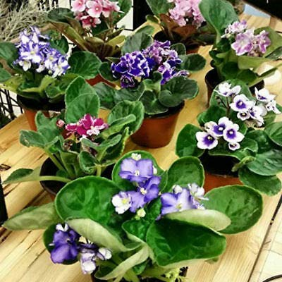 Two African Violet Plants - Colors...