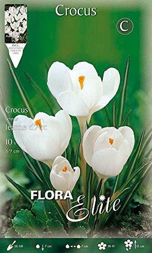 Flora Elite 402999 Großblumiger Gartenkrokus Jeanne dArc (10 Stück) (Gartenkrokuszwiebeln)