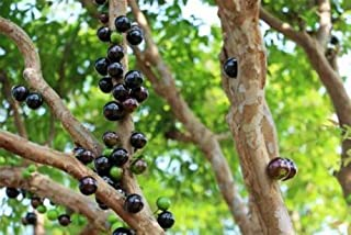 Myrciaria Cauliflora (Jaboticaba)Tropical Fruit Tree