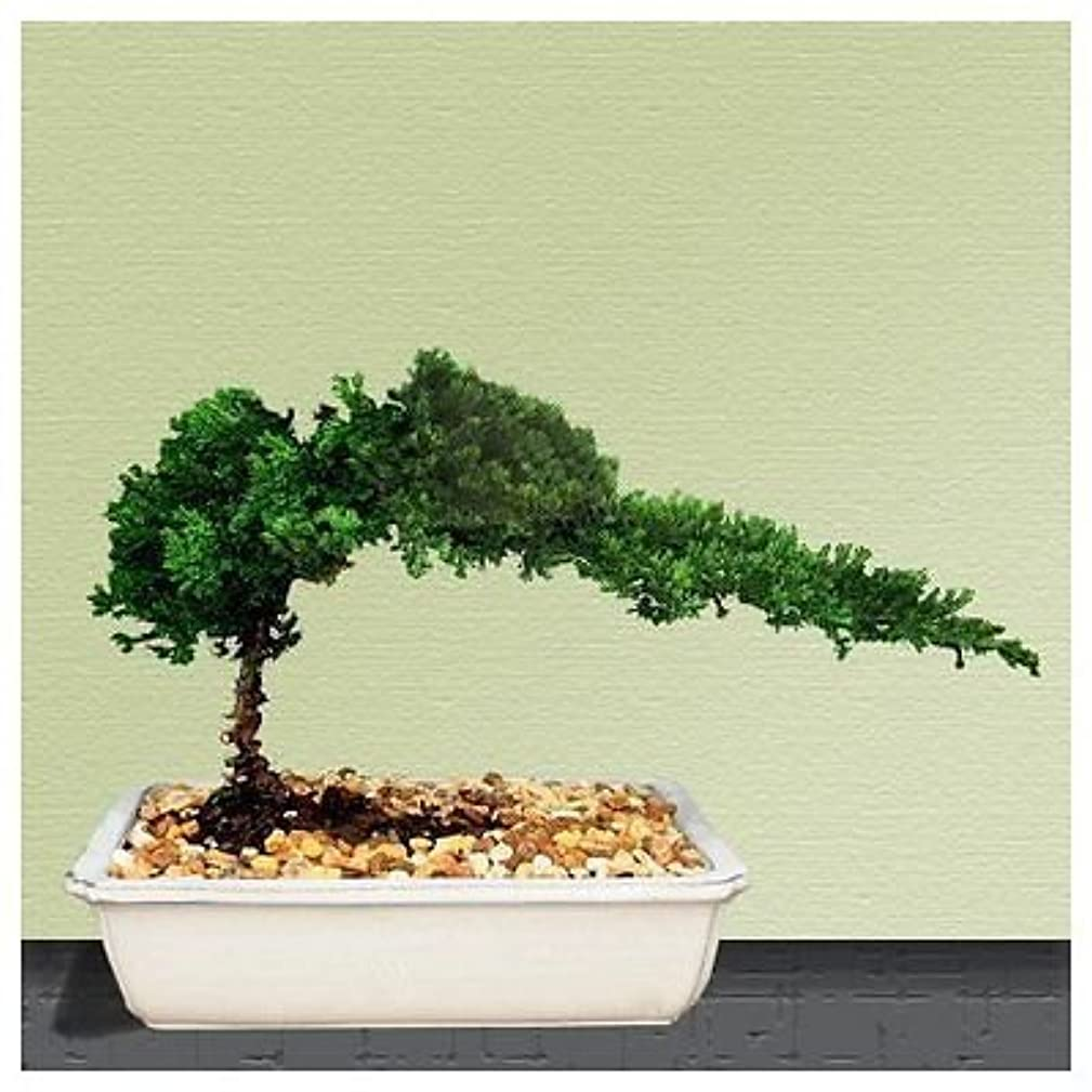 Bonsai Tree live Juniper House Plant Indoor Houseplant Best Gift New