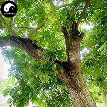 Kaufen Sie seltene duftende Rosenholz Baum Samen 160pcs Pflanze Dalbergia Odorifera Huang Tan