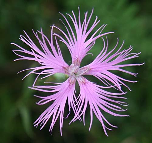 40 Graines de Supra Rose hybride Dianthus