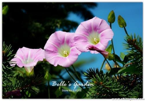 100 pcs/sac graines de pétunia, pétales de double graines de fleurs de pétunia, plante en pot bonsaï vivaces pour le jardin de la maison 1