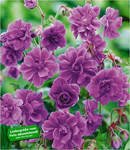 BALDUR-Garten Winterharte Geranien 'Blaue Birch Double®', 2 Knollen, Geranium himalayense
