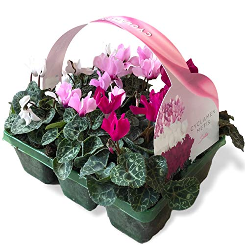 6 x Large Garden Ready Plants Bedding Pack – Each Plant is The Same Size As Grown in A 10.5cm Pot. Colours for Containers, Baskets, Patios, Beds. Doorstep Plants Cyclamen Satin Collection