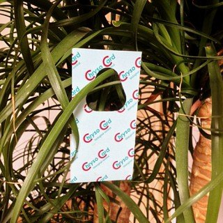 ChrysoCards - 1200 Stück Florfliegeneier auf Hängekärtchen - Nützlinge