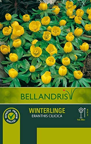 mgc24® Winterlinge Eranthussen - 50 Blumenzwiebeln (ca. 5mm)
