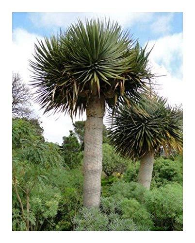 SANHOC Samen-Paket: Dr. Draco SSP. Draco - Kanarische Inseln Dragon - 25 SeedsSEED