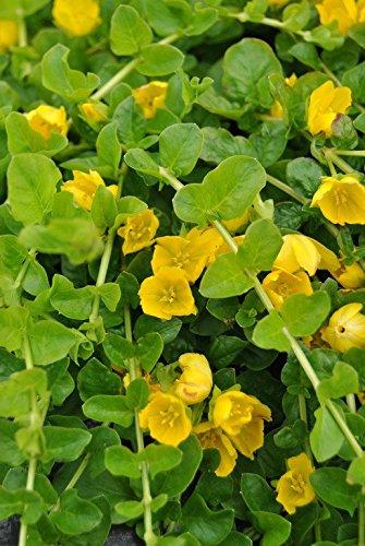 WFW wasserflora Pfennigkraut - Pfennig-Gilbweiderich - Münzkraut/Lysimachia nummularia im 9x9 cm Topf