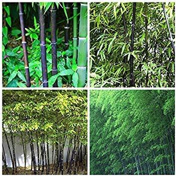 ZLKING 100 Pcs rares Bleuets Chinois Bio Graines de Fruits Frais sucrés Arbre naturels Exotiques Plantes fruitières Décorée Jardin