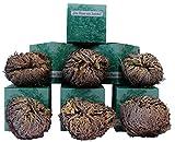 6 Stück Rose von Jericho, Größe XL (65-75 g) in der Geschenkbox
