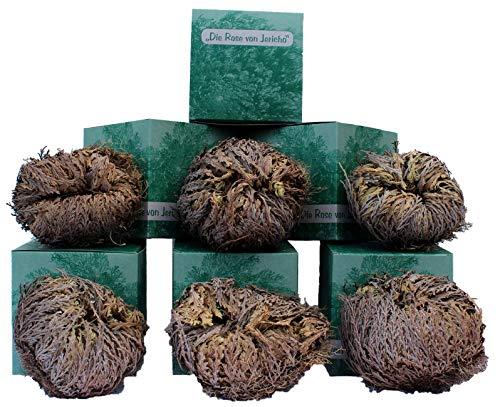 6 Stück Rose von Jericho, Größe XXL (90 g) in der Geschenkbox
