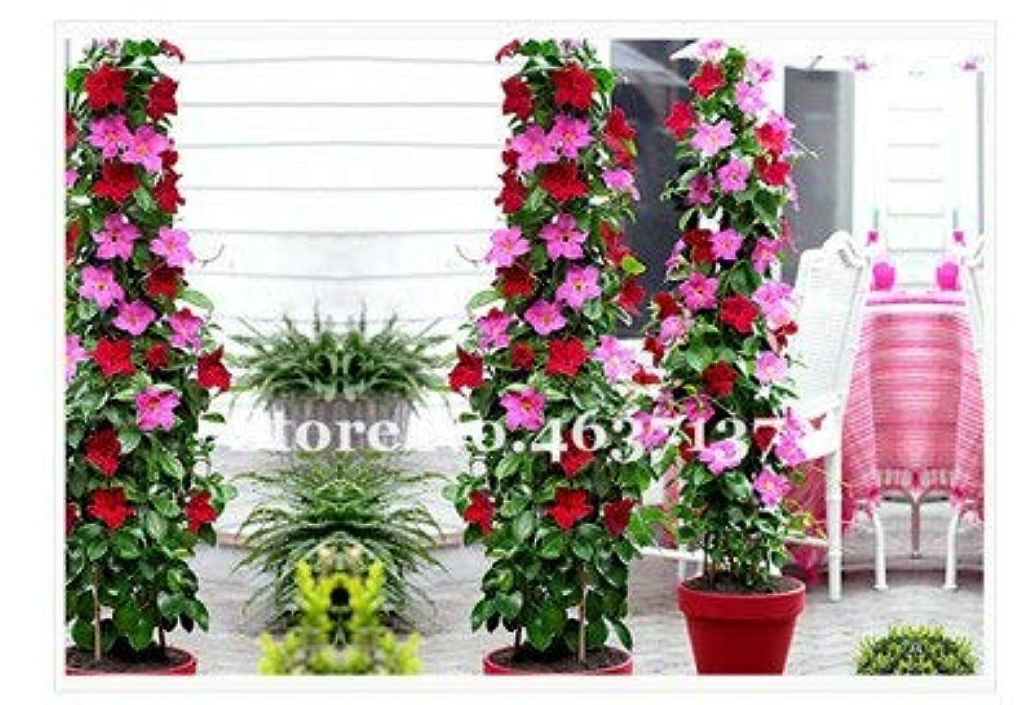 不適切な助けて憲法ホット200個ミックスDipladenia盆栽レアジャスミンの花のホームガーデンポット盆栽、すばらしい香り美しい花の余地クライミング:Qを