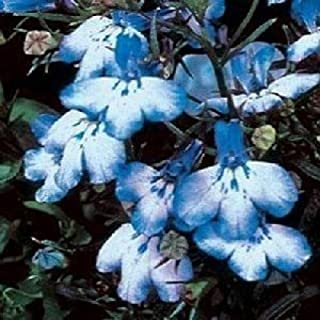 Sky Blue Lobelia Regatta Erinus Flower Seeds for Home and Garden #LKY