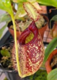 TROPICA - Nepenthes X hookeriana () - 10 graines- Carnivore