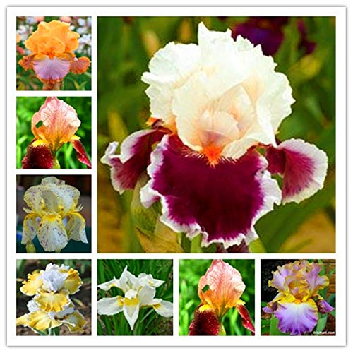 200 Stück Bonsai Iris Blume Perennial Blume Seltene Blume Schwertlilie, Natur Pflanzen Orchideenblüte DIY für Garten reinigen die Luft: 13