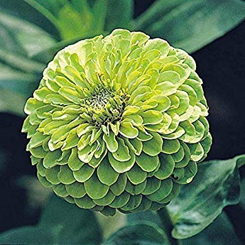 SANHOC Graines Paquet: SeeKay Zinnia vert Envy - type fleuri dahlia - FlowerSEED annuel