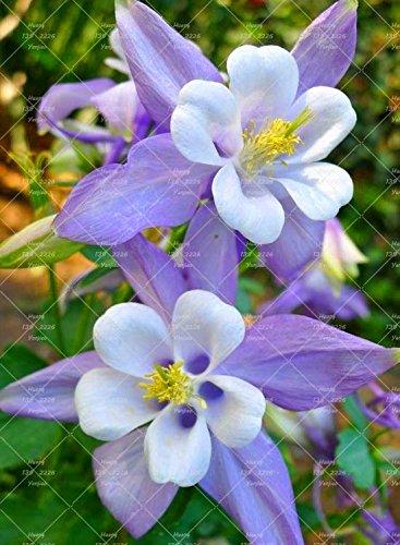 100PCS Double Aquilegia (Columbine) Graines rares Bonsai Graines de fleurs longue saison Bloom plantes vivaces pour jardin 1