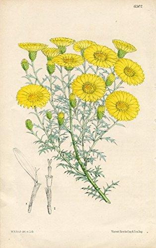 Haplopappus spinulosus. Altkolorierte Original-Lithographie (Aus: Curtis' Botanical Magazine, No. 6302).