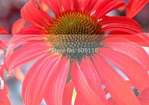 SwansGreen Erbstück Rare Echinacea 'Tomato Soup' Chrysanthemum Blumensamen, 100 Samen/Pack, New Sonnenhut 100% Echte Vielfalt Kk098