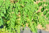 Dwarf Moringa Tree Seeds | 20+ Seeds to Grow | Highly Nutritious Leaves and Seeds, Edible and Tasty. Ships from Iowa, USA