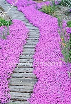 Potseed Exotische Neue Ankunfts-Samen EIN Beutel 200 Stück im Freien Staudenphlox Samen Kletterpflanze Hoch Keimung DIY Garten Decor 13