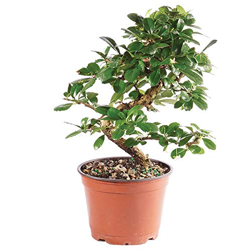 Brussel's Bonsai Live Fukien Tea Indoor Bonsai Tree - 6 Years Old 6' to 10' Tall with Plastic Grower Pot, Medium,