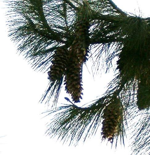 Tränen-Kiefer (Pinus wallichiana) 10 Samen (Winterhart) Auch Himalaya Kiefer genannt