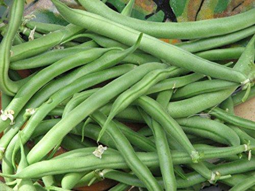 Blue Lake Bush Bean Seeds- 20+ Seeds by Ohio Heirloom Seeds