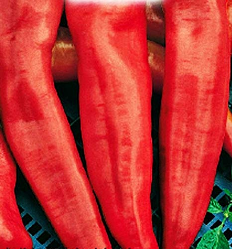 Graines de poivron corne de taureau rouge - légumes - capsicum annuum - environ 150 graines - les meilleures graines de plantes - fleurs - fruits rares - poivrons rouges - idée cadeau originale