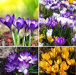 Nianyan Hot Sale Many varieties Saffron bulbs Saffron Flower bulbs Saffron Crocus bulbs It Is Not the Saffron seeds-10 bulbs