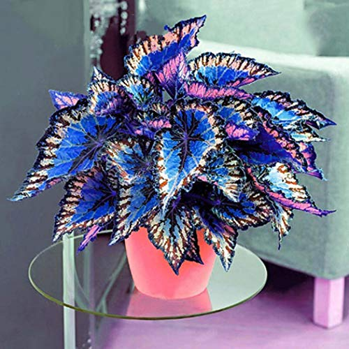 Cioler 100pcs Coleus Samen Buntnessel Samen Farbigen Gras Samen Bonsai Topfpflanzen mehrjährige Pflanze Blume Samen für Haus Garten Dekor