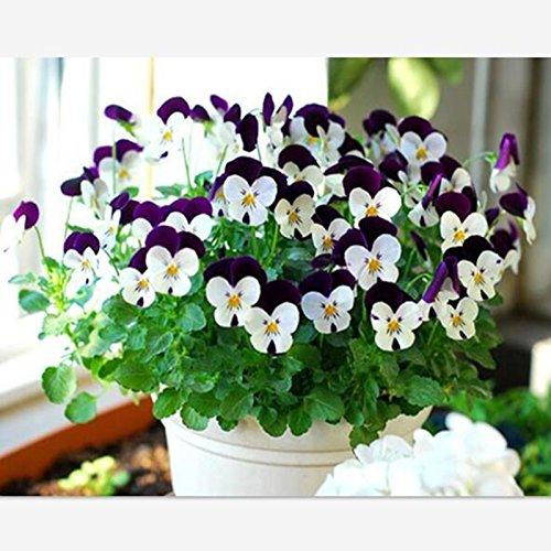 30 graines / pack belles graines pansy intérieur maison bricolage plantes ornementales fleurs Graines bonsaï en pot et jardin Livraison gratuite