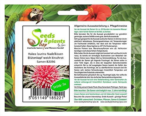 Stk - 5x Hakea laurina Nadelkissen Garten Pflanzen - Samen B2096 - Seeds Plants Shop Samenbank Pfullingen Patrik Ipsa