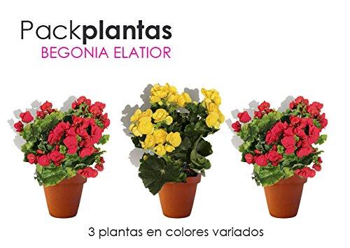 PACK 3 BEGONIA - BEGONIA ELATIOR, COLOR VARIADO ¡¡¡ PLANTA NATURAL¡¡¡ altura: 22 cm aproximado, contenedor: 15 cm. ENVIOS SOLO PENINSULA