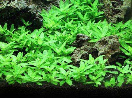 Staurogyne Repens Tissue Cultured - Foreground Aquarium Plant