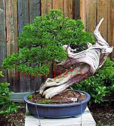 100 pcs / sac vivaces graines d'arbres à feuilles persistantes pin japonais graines d'arbres bonsaï holly graines de pin de feuille