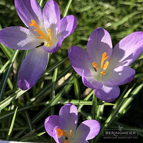 Blumenzwiebeln Krokuszwiebeln Elfenkrokus Crocus tommasinianus Barrs Purple (50 Zwiebeln)