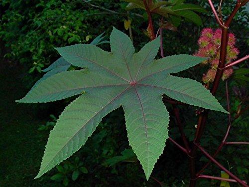 Asklepios-seeds® - 100 Samen Ricinus communis, Rizinus, Wunderbaum, Rizinusbaum
