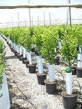 1 árbol Mandarino/clementino, aprox. 150 cm tronco...