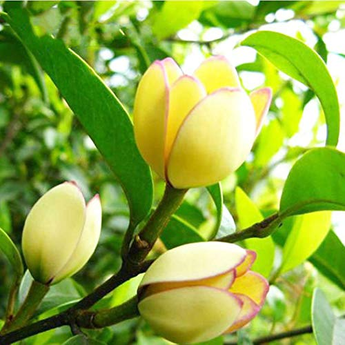 Keland Garten - Exotic 10 Stück Parfümbaum Weiße Magnolia Michelia champaca, White Champaka, Joy Perfume, Michelia alba Blumensamen immergrün