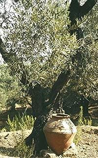 Plants Olive Tree Mission Olea Europaea Live Plant