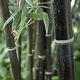 YouGarden Phyllostachys Nigra, Black Bamboo