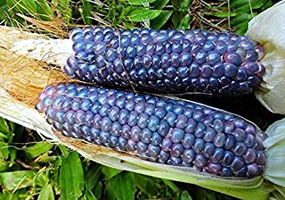 Vegetable Seeds Baby Blue Jade Corn, 25 Rare Seeds, Dwarf, Miniature Plants, Tiny Cobs, Sweet and Tasty, Fun for Kids