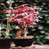 Adolenb Jardin- Graines d'érable pourpre fan japonais érable bonsaï rustique plante vivace graines érable bonsaï jardin balcon été vert en plein air bonsaï